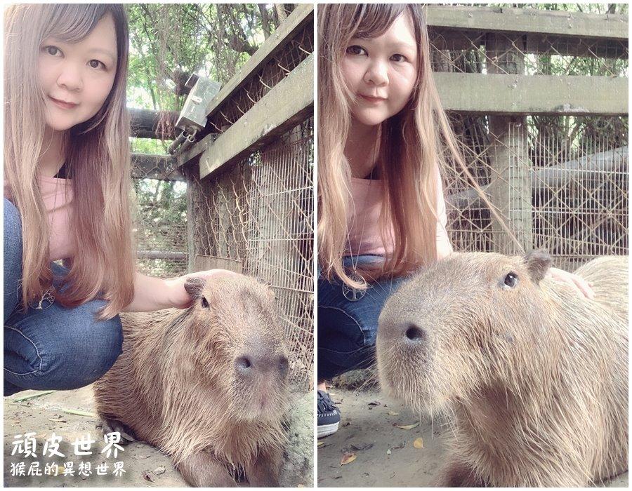 【水豚君懶人包】台灣哪裡可以跟水豚君互動? 台南頑皮世界野生動物園、桃園埔心牧場看超可愛水豚君!