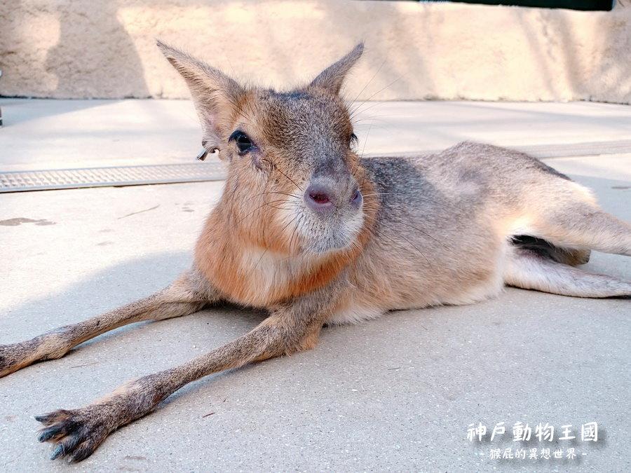 日本神戶動物王國,超萌水豚君親密互動!小貓熊、樹懶、企鵝超級可愛! @猴屁的異想世界